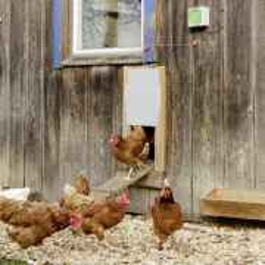 Automatischer Hühnertür Öffner